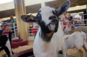 """""""There are so many goats so we don't name them all. But sometimes they'll do something worthy of a name, like this one. He's 'Goat Who Gets His Head Stuck In Things.'"""" -Anna, animal caregiver for Hedrick's Exotic Animal Farm"""